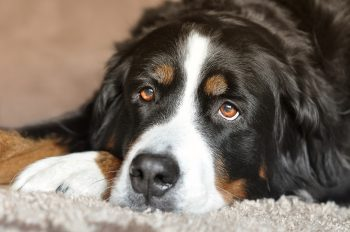 Therapy Animals and Grief