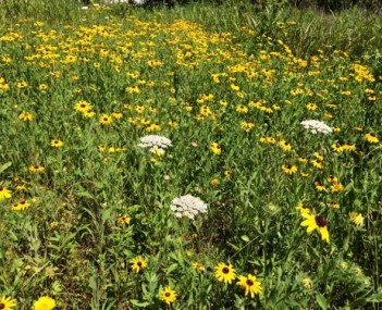 the meadow with black-eyed Susan's and Queen Anne's lace in bloom