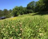 milkweed to attract monarch butterflies